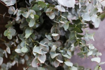 Garden plant of the moment: Eucalyptus