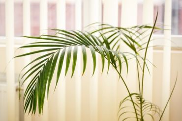 Plant of the Week: Areca
