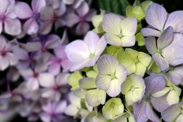 Plant of the Week: Hortensia hydrangeas