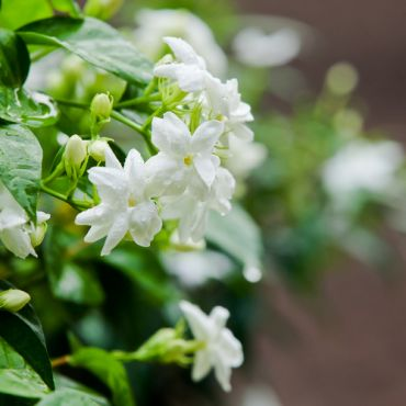 Plant of the week: Jasmine