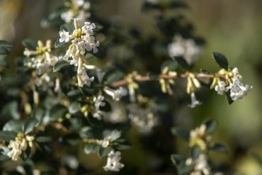 Plant of the Week: Osmanthus