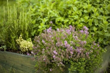 Plant of the Week: Thyme