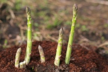 Planting asparagus crowns